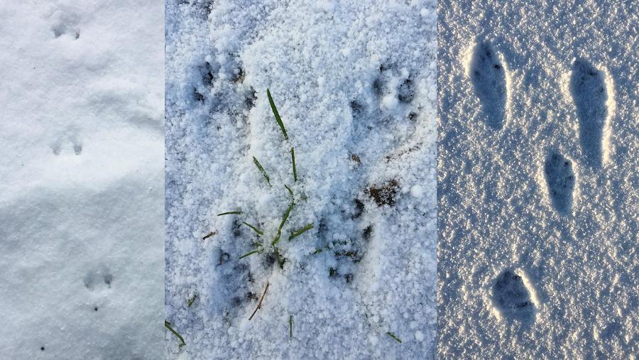 De sporen van een bosmuis, eekhoorn en een haas in de sneeuw.