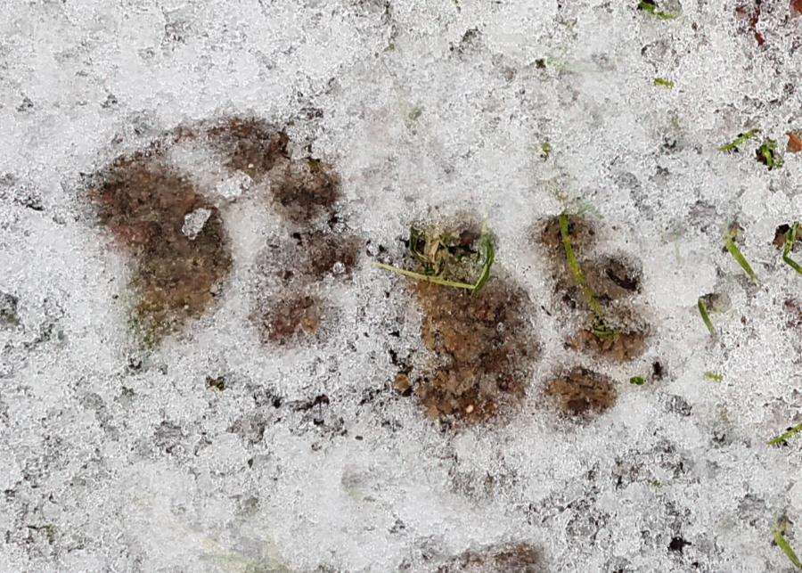 De pootafdrukken van een das in de sneeuw.