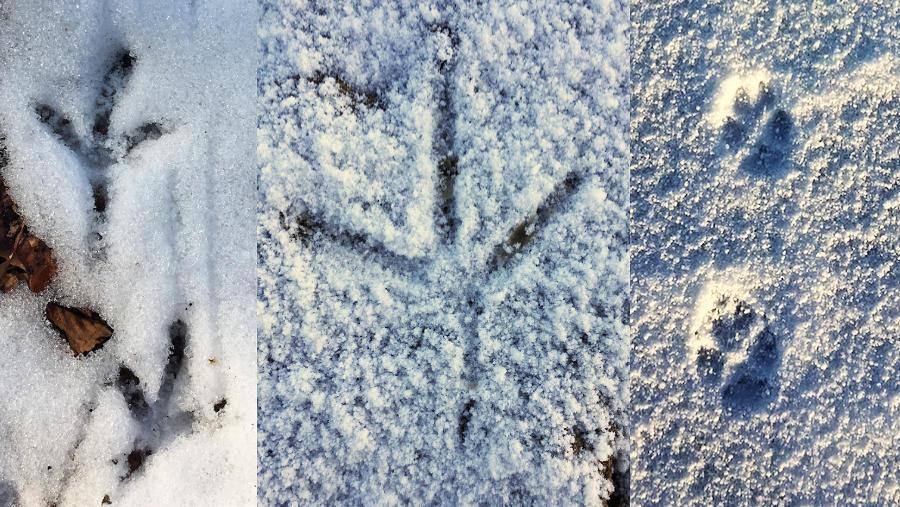 De sporen van een houtduif, reiger en vos in de sneeuw.