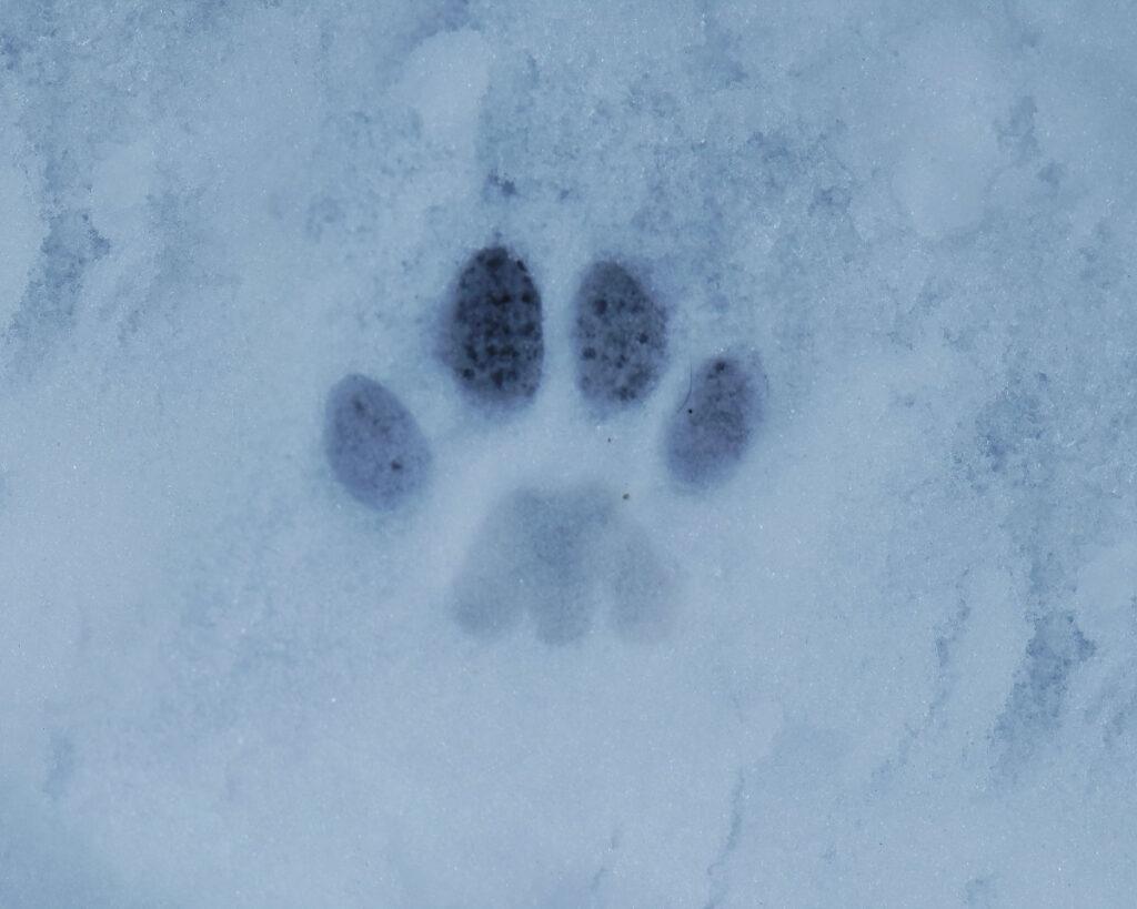Een spoor van een kat in de sneeuw.