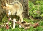 Uitwerpselen van wolven